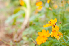 Yellow flowers. Yellow flower with blur background Royalty Free Stock Images