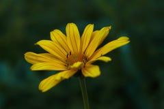 Yellow flowers royalty free stock photo