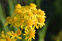 Yellow flowers. Yellow flower in large field Stock Image