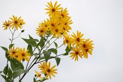 Yellow flowers. Yellow flower photographed in the wild on the bank of the river west morava serbia Stock Photography