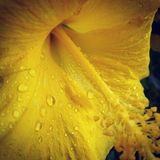 Yellow flowers. Flower with rain drops Royalty Free Stock Images