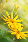 Yellow flowers with flying bee Royalty Free Stock Photography