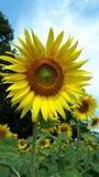 Yellow flowers. Fonr yellow flowers stock image