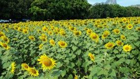 Yellow flowers. Fonr yellow flowers royalty free stock image