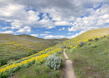 Yellow flowers in the foot hills of Idaho Royalty Free Stock Images