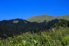 Yellow flowers forest and alpine meadows in caucasus mountains Abkhazia Royalty Free Stock Images