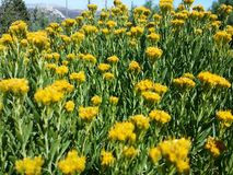 Yellow flowers in the forest. Royalty Free Stock Photography