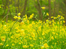 Yellow flowers in the forest. Meadow with flowers in the deciduous forest in the early spring Royalty Free Stock Photos