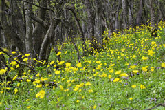 Yellow flowers in the forest Royalty Free Stock Image
