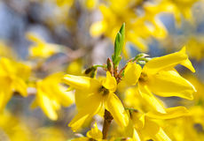 Yellow flowers (Forsythia) Stock Image