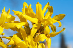 Yellow flowers (Forsythia) Stock Photo