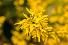 Yellow flowers of Forsythia in bloom on pretty sunny spring day Stock Images