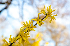Yellow flowers of Forsythia in bloom on pretty sunny spring day Stock Image