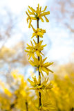 Yellow flowers of Forsythia in bloom on pretty sunny spring day Royalty Free Stock Images