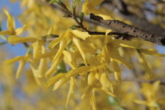 Yellow flowers. Forsythia bush blossom in park in springtime Stock Photos