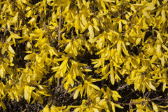 Yellow flowers Forsythia on the bush texture photo in spring Stock Images
