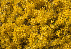 Yellow flowers of a forsythia Royalty Free Stock Images