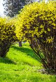 Yellow flowers of forsythia shrub. Lovely nature background in the garden on sunny springtime day Royalty Free Stock Photo