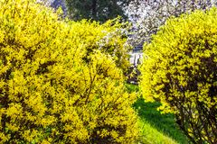 Yellow flowers of forsythia shrub. Lovely nature background in the garden on sunny springtime day Royalty Free Stock Photography