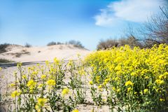 Yellow flowers are found near the sandy beach royalty free stock photo