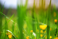 Yellow flowers in freen background Royalty Free Stock Photo