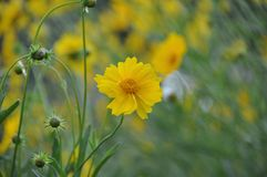 The yellow flowers. Stock Photo