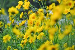 The yellow flowers. Stock Image