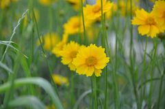 The yellow flowers. Royalty Free Stock Image