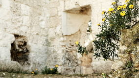 Yellow Flowers in front of ancient Ruin stock footage