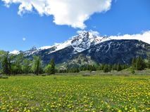 Yellow Flowers in front of Grant Tetons at Yellowstone. Yellow flowers and grass with snow covered Grand Tetons in the background Stock Photo