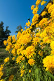 Yellow flowers in front of  village house Stock Photo