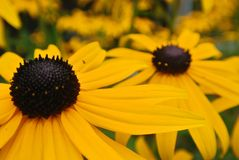 Yellow flowers in bloom. Yellow flowers in full bloom royalty free stock image