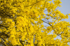 Yellow flowers in full bloom. Beautiful yellow flowers in full bloom Stock Photography