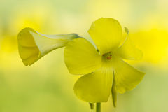 Yellow flowers in full bloom Royalty Free Stock Images