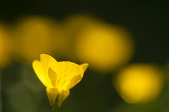 Yellow flowers in full bloom Royalty Free Stock Photos