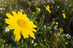 Yellow flowers in full bloom Royalty Free Stock Photo