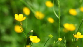 Yellow flowers. Full HD with motorized slider. 1080p. Royalty Free Stock Images