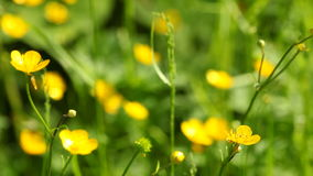 Yellow flowers. Full HD with motorized slider. 1080p. Stock Photography