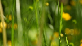 Yellow flowers. Full HD with motorized slider. 1080p. Royalty Free Stock Photo