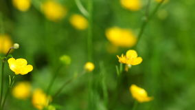 Yellow flowers. Full HD with motorized slider. 1080p. Royalty Free Stock Image