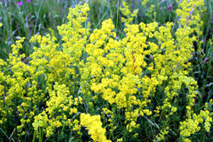 Yellow flowers of Galium verum Royalty Free Stock Photos
