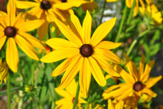 Yellow flowers. In the garden Royalty Free Stock Photos