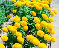 Yellow flowers in the garden,Beautiful Marigold yellow flowers Royalty Free Stock Photo