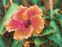 Yellow and pink  hollyhock flower in a garden royalty free illustration