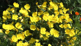 Yellow flowers in the garden Enotera stock video