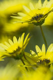 Yellow flowers in the garden. Many yellow flowers in the garden Royalty Free Stock Photo