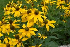 The yellow flowers in the garden. Many of it royalty free stock images