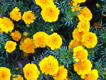 Yellow flowers in the garden. Marigold tagetes Royalty Free Stock Photography