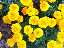 Yellow flowers in the garden. Marigold tagetes Royalty Free Stock Photo