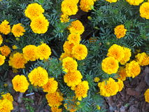 Yellow flowers in the garden. Marigold tagetes Stock Photography